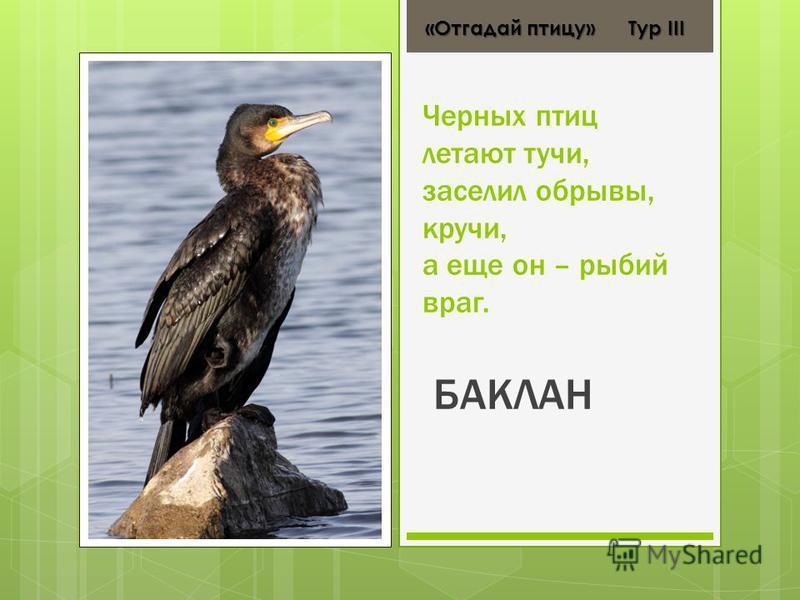 Черных птиц летают тучи, заселил обрывы, кручи, а еще он – рыбий враг. БАКЛАН «Отгадай птицу» Тур ІІІ «Отгадай птицу» Тур ІІІ