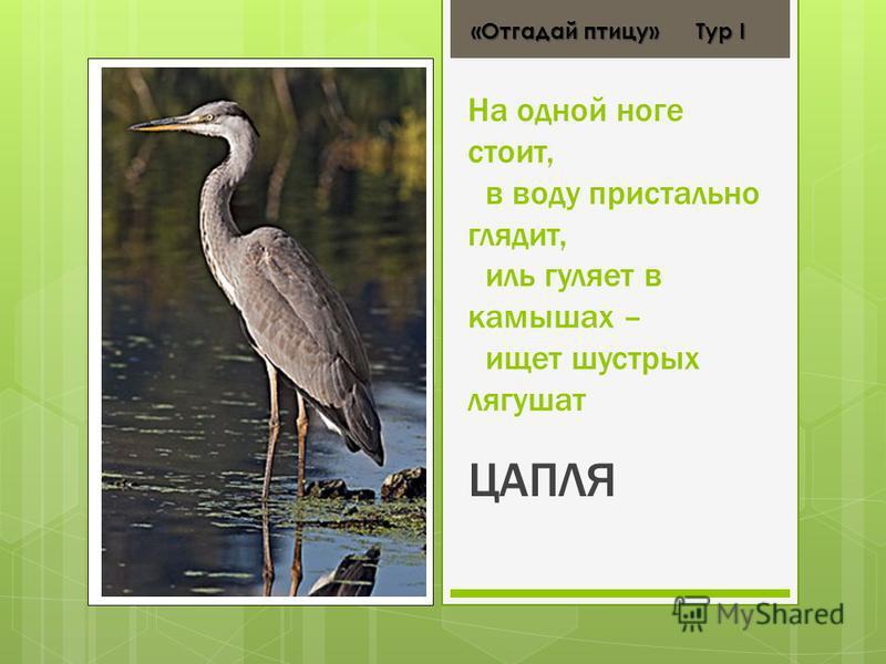 На одной ноге стоит, в воду пристально глядит, иль гуляет в камышах – ищет шустрых лягушат ЦАПЛЯ «Отгадай птицу» Тур І «Отгадай птицу» Тур І