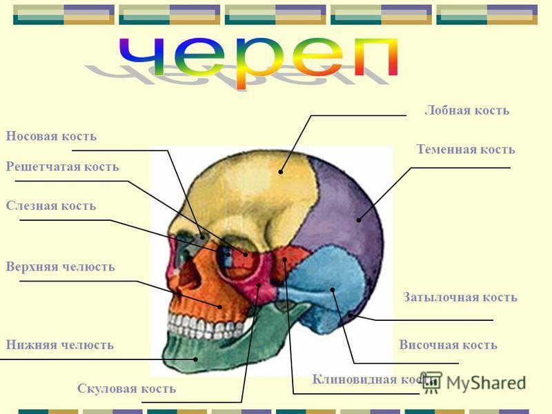 Решетчатая кость Слезная кость Носовая кость Лобная кость Теменная кость Затылочная кость Височная кость Клиновидная кость Скуловая кость Нижняя челюсть Верхняя челюсть