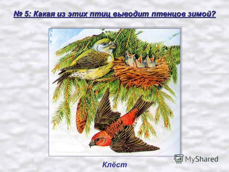 5: Какая из этих птиц выводит птенцов зимой? 5: Какая из этих птиц выводит птенцов зимой? Клёст