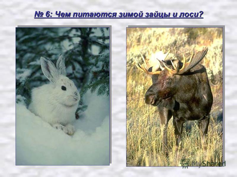 6: Чем питаются зимой зайцы и лоси? 6: Чем питаются зимой зайцы и лоси?