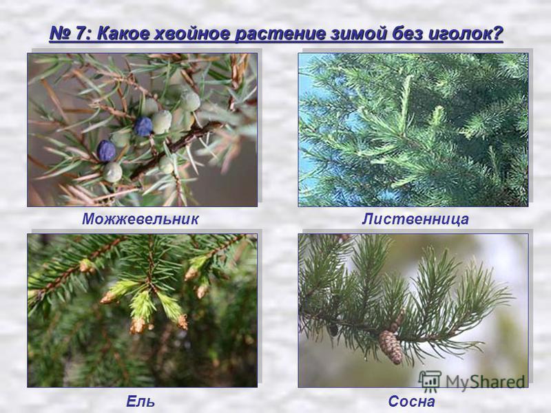 7: Какое хвойное растение зимой без иголок? 7: Какое хвойное растение зимой без иголок? Можжевельник Ель Сосна Лиственница