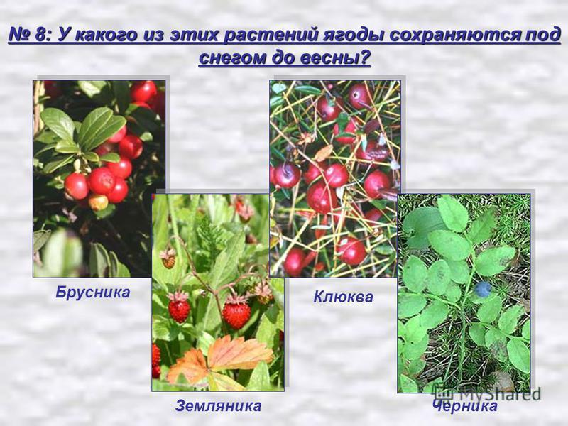 8: У какого из этих растений ягоды сохраняются под снегом до весны? 8: У какого из этих растений ягоды сохраняются под снегом до весны? Земляника Клюква Брусника Черника