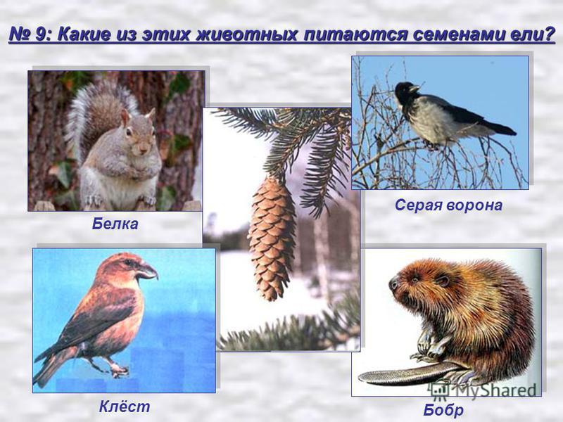 9: Какие из этих животных питаются семенами ели? 9: Какие из этих животных питаются семенами ели? Белка Серая ворона Клёст Бобр
