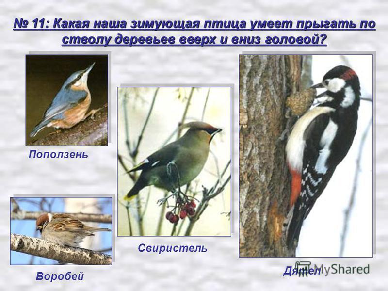 11: Какая наша зимующая птица умеет прыгать по стволу деревьев вверх и вниз головой? 11: Какая наша зимующая птица умеет прыгать по стволу деревьев вверх и вниз головой? Поползень Воробей Свиристель Дятел