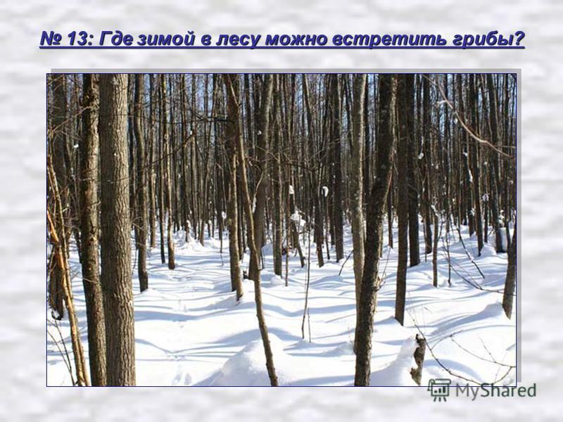 13: Где зимой в лесу можно встретить грибы? 13: Где зимой в лесу можно встретить грибы?