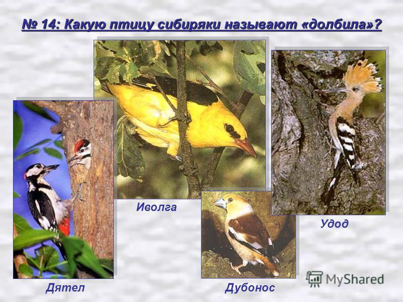 14: Какую птицу сибиряки называют «долбила»? 14: Какую птицу сибиряки называют «долбила»? Удод Иволга Дятел Дубонос