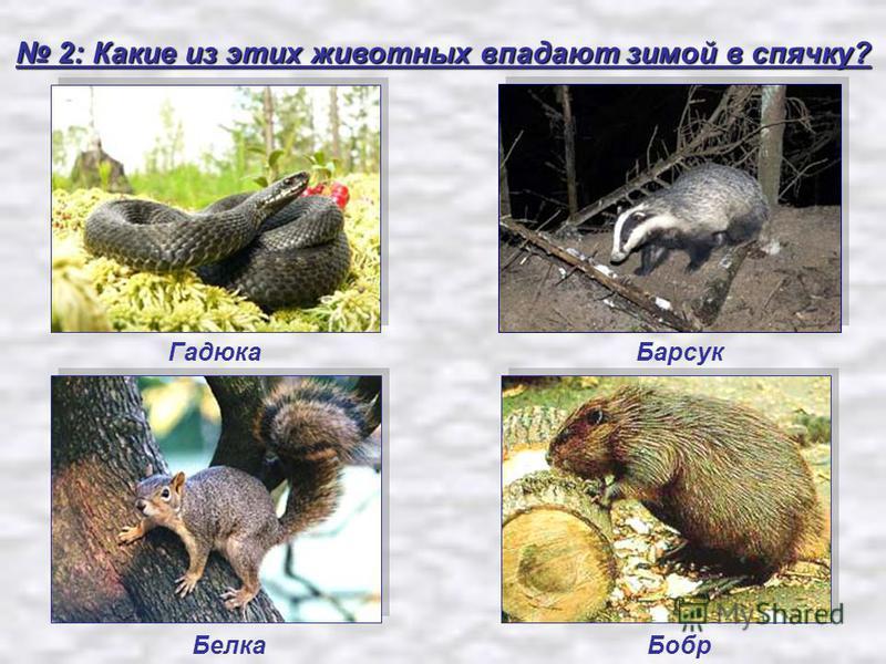 2: Какие из этих животных впадают зимой в спячку? 2: Какие из этих животных впадают зимой в спячку? Гадюка Бобр Барсук Белка