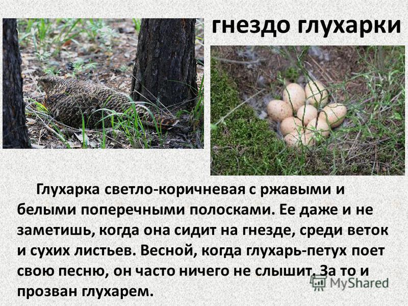 гнездо глухарки Глухарка светло-коричневая с ржавыми и белыми поперечными полосками. Ее даже и не заметишь, когда она сидит на гнезде, среди веток и сухих листьев. Весной, когда глухарь-петух поет свою песню, он часто ничего не слышит. За то и прозва