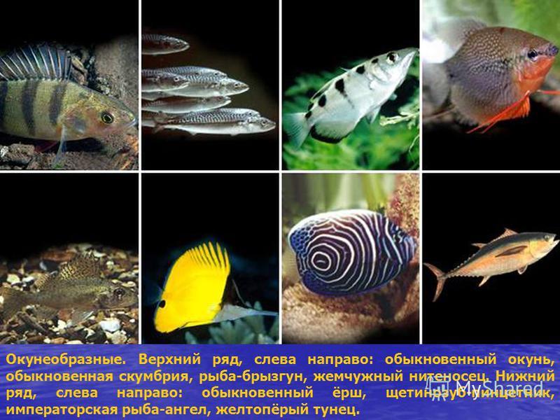 Окунеобразные. Верхний ряд, слева направо: обыкновенный окунь, обыкновенная скумбрия, рыба-брызгун, жемчужный нитеносец. Нижний ряд, слева направо: обыкновенный ёрш, щетинозуб-пинцет ник, императорская рыба-ангел, желтопёрый тунец.