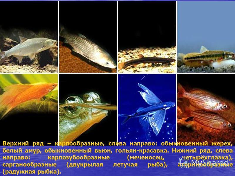 Верхний ряд – карпообразные, слева направо: обыкновенный жерех, белый амур, обыкновенный вьюн, гольян-красавка. Нижний ряд, слева направо: карпозубообразные (меченосец, четырёхглазка), сарганообразные (двукрылая летучая рыба), атеринообразные (радужн