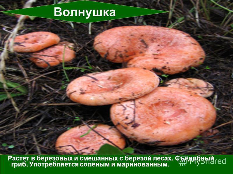 Растет в березовых и смешанных с березой лесах. Съедобный гриб. Употребляется соленым и маринованным. Волнушка