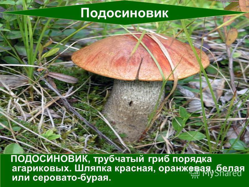 ПОДОСИНОВИК, трубчатый гриб порядка агариковых. Шляпка красная, оранжевая, белая или серовато-бурая. Подосиновик