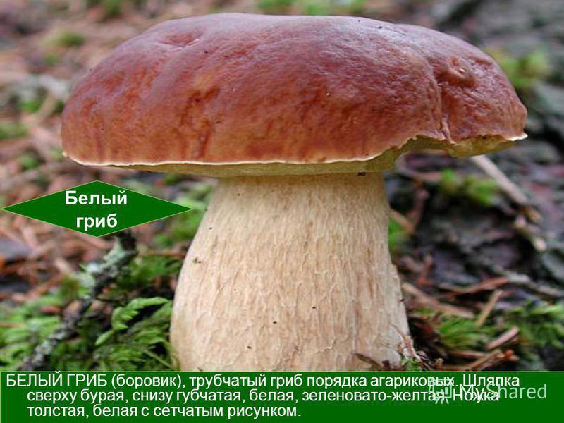 БЕЛЫЙ ГРИБ (боровик), трубчатый гриб порядка агариковых. Шляпка сверху бурая, снизу губчатая, белая, зеленовато-желтая. Ножка толстая, белая с сетчатым рисунком. Белый гриб