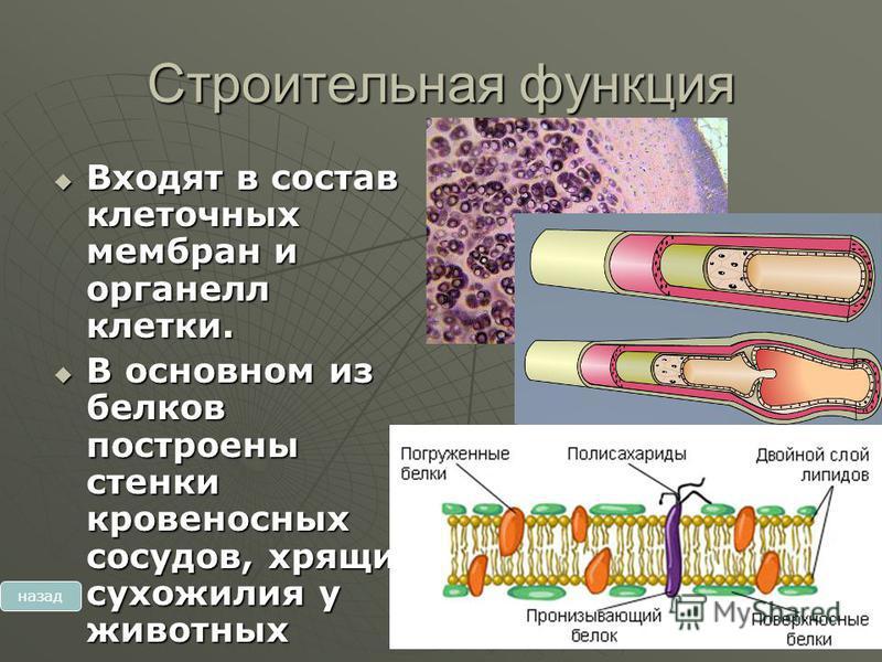 Строительная функция Входят в состав клеточных мембран и органелл клетки. Входят в состав клеточных мембран и органелл клетки. В основном из белков построены стенки кровеносных сосудов, хрящи, сухожилия у животных В основном из белков построены стенк