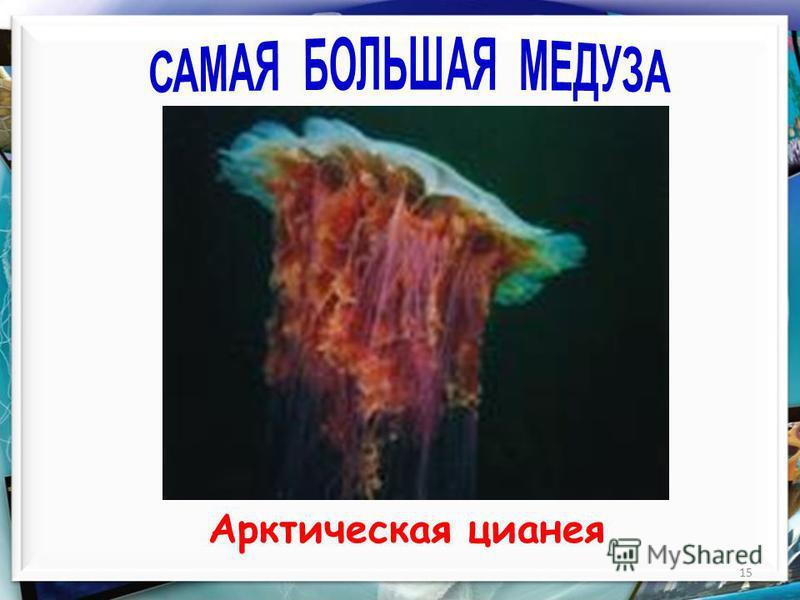15 Арктическая цианея
