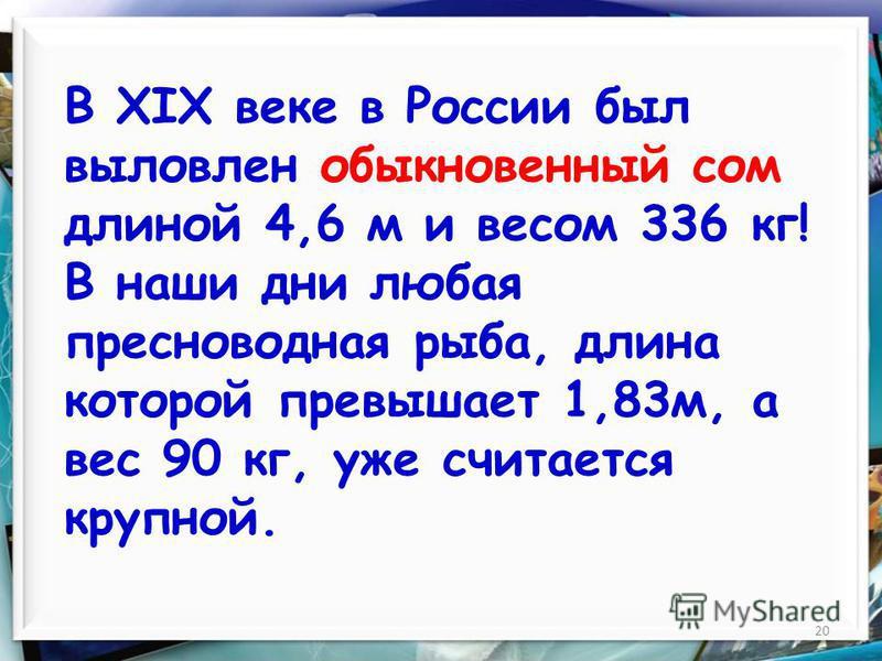 20 В XIX веке в России был выловлен обыкновенный сом длиной 4,6 м и весом 336 кг! В наши дни любая пресноводная рыба, длина которой превышает 1,83 м, а вес 90 кг, уже считается крупной.
