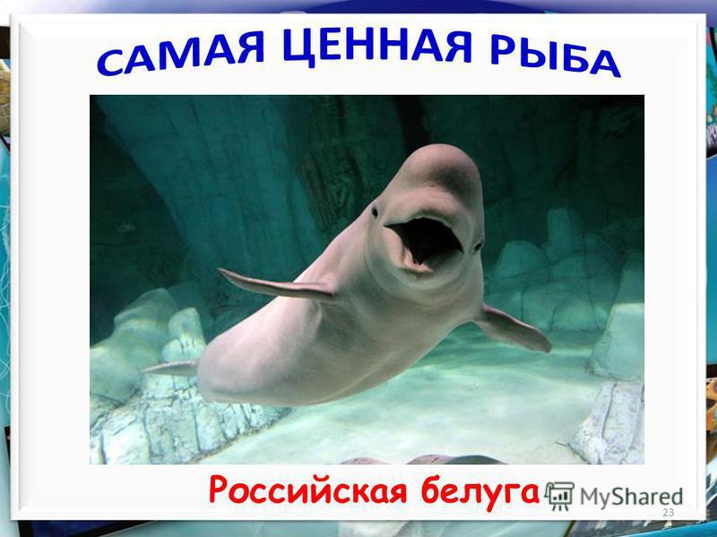 23 Российская белуга