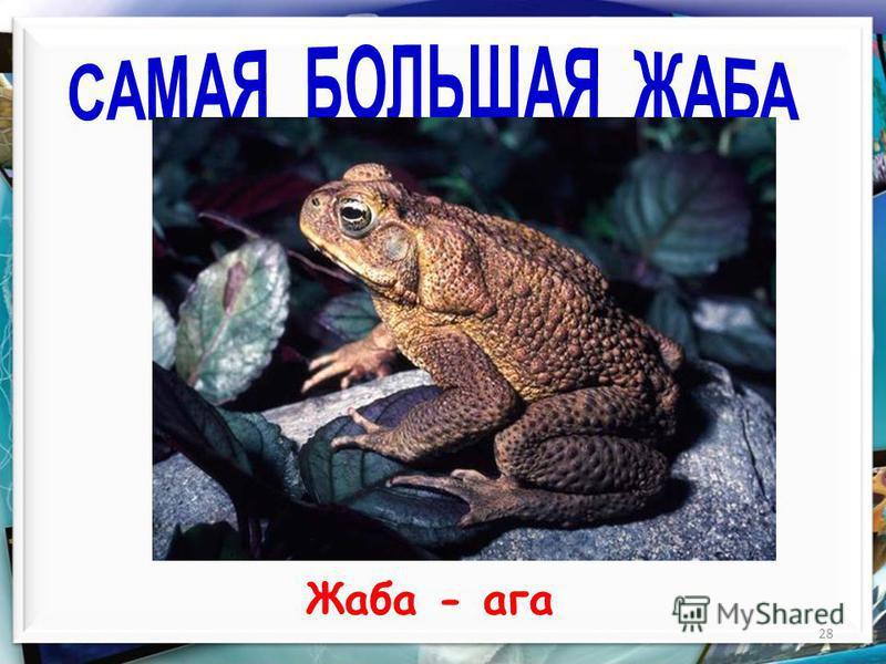 28 Жаба - ага