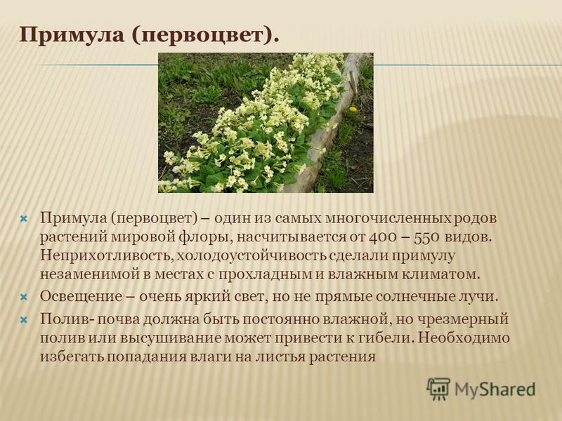 Примула (первоцвет). Примула (первоцвет) – один из самых многочисленных родов растений мировой флоры, насчитывается от 400 – 550 видов. Неприхотливость, холодоустойчивость сделали примулу незаменимой в местах с прохладным и влажным климатом. Освещени