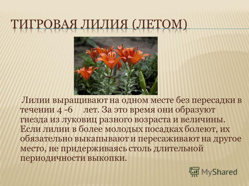 Лилии выращивают на одном месте без пересадки в течении 4 -6 лет. За это время они образуют гнезда из луковиц разного возраста и величины. Если лилии в более молодых посадках болеют, их обязательно выкапывают и пересаживают на другое место, не придер