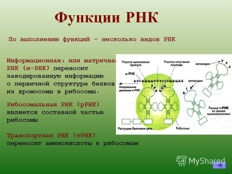 Функции Р НК Информационная, или матричная, РНК (и-РНК) переносит закодированную информацию о первичной структуре белков из хромосомы в рибосомы. Рибосомальная РНК (рРНК) является составной частью рибосомы По выполнению функций - несколько видов РНК