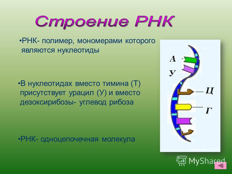 В нуклеотидах вместо тимина (Т) присутствует урацил (У) и вместо дезоксирибозы- углевод рибоза РНК- одноцепочечная молекула РНК- полимер, мономерами которого являются нуклеотиды