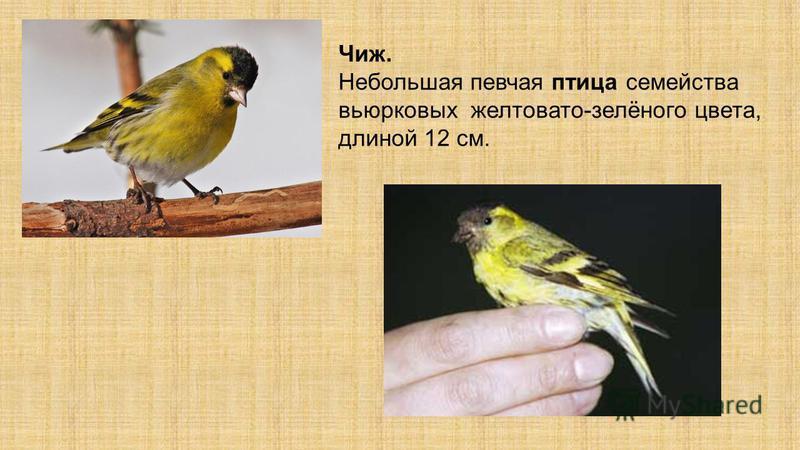 Чиж. Небольшая певчая птица семейства вьюрковых желтовато-зелёного цвета, длиной 12 см.