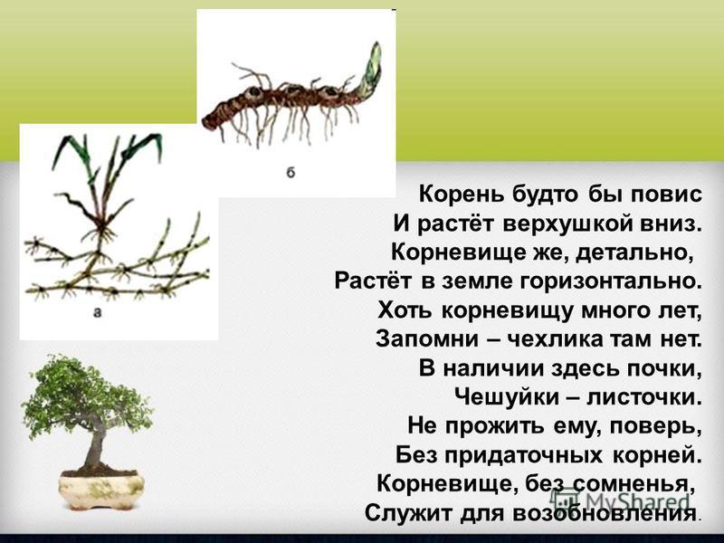Корень будто бы повис И растёт верхушкой вниз. Корневище же, детально, Растёт в земле горизонтально. Хоть корневищу много лет, Запомни – чехлика там нет. В наличии здесь почки, Чешуйки – листочки. Не прожить ему, поверь, Без придаточных корней. Корне