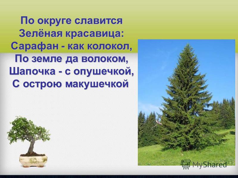 По округе славится Зелёная красавица: Сарафан - как колокол, По земле да волоком, Шапочка - с подушечкой, С острою макушечкой