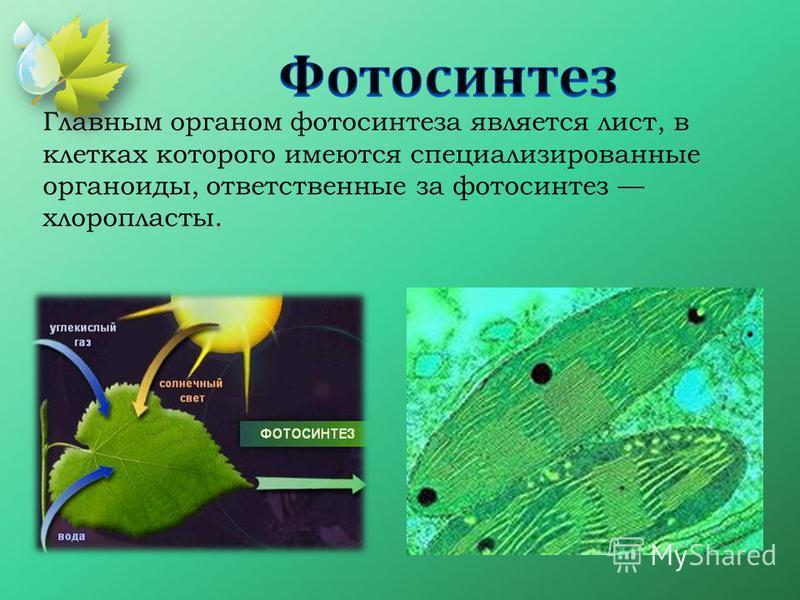 Главным органом фотосинтеза является лист, в клетках которого имеются специализированные органоиды, ответственные за фотосинтез хлоропласты.