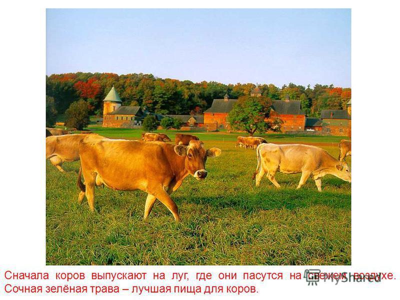 Все молочные продукты - молоко, сметану, сыр, масло – мы получаем благодаря корове.