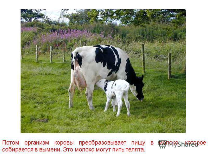 Сначала коров выпускают на луг, где они пасутся на свежем воздухе. Сочная зелёная трава – лучшая пища для коров.