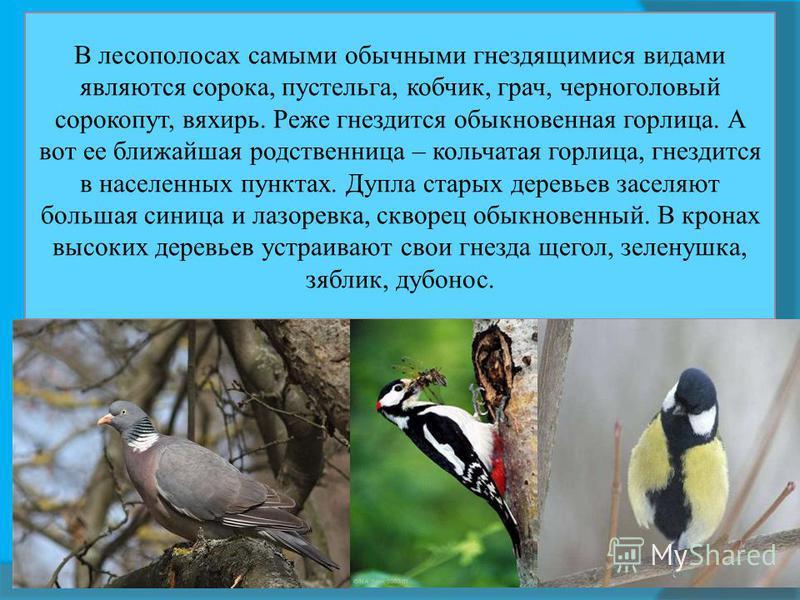 В лесополосах самыми обычными гнездящимися видами являются сорока, пустельга, кобчик, грач, черноголовый сорокопут, вяхирь. Реже гнездится обыкновенная горлица. А вот ее ближайшая родственница – кольчатая горлица, гнездится в населенных пунктах. Дупл