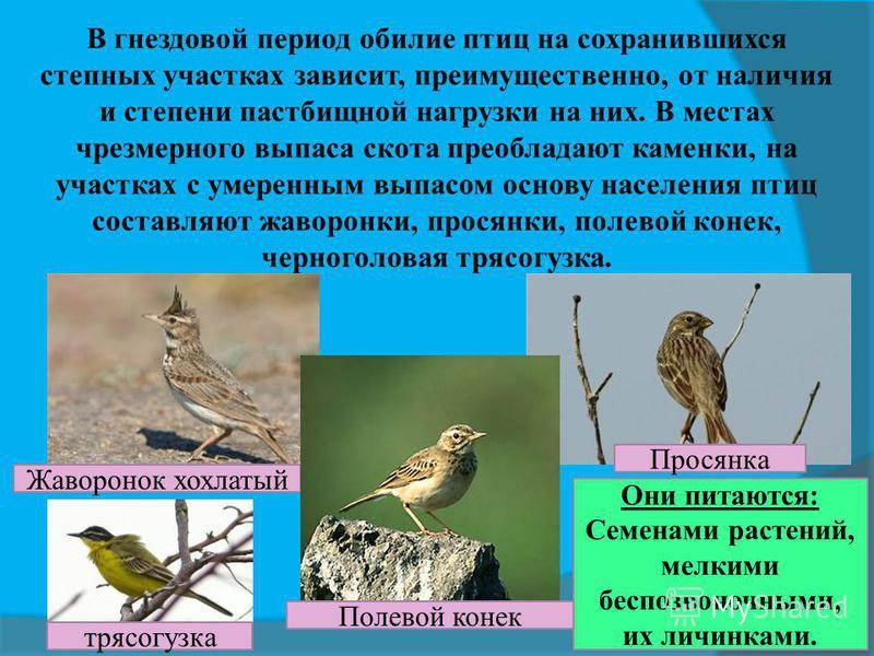 В гнездовой период обилие птиц на сохранившихся степных участках зависит, преимущественно, от наличия и степени пастбищной нагрузки на них. В местах чрезмерного выпаса скота преобладают каменки, на участках с умеренным выпасом основу населения птиц с