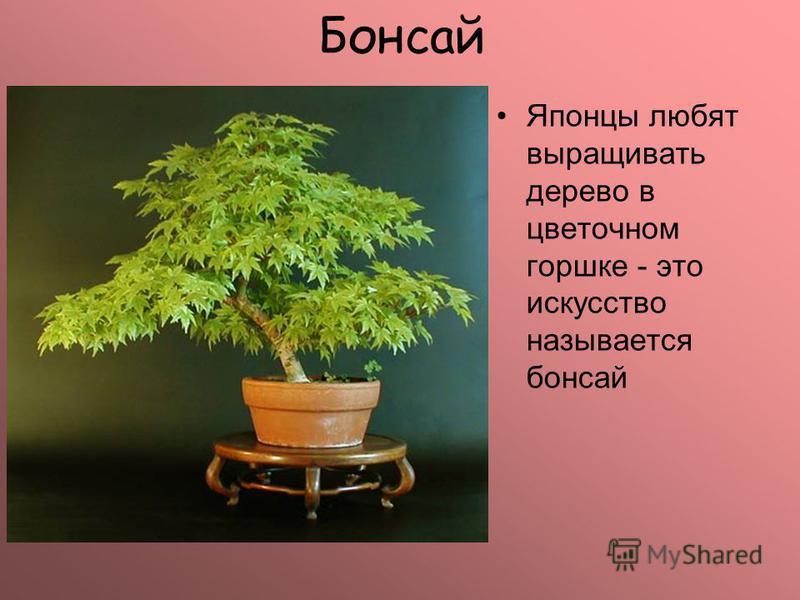 Бонсай Японцы любят выращивать дерево в цветочном горшке - это искусство называется бонсай
