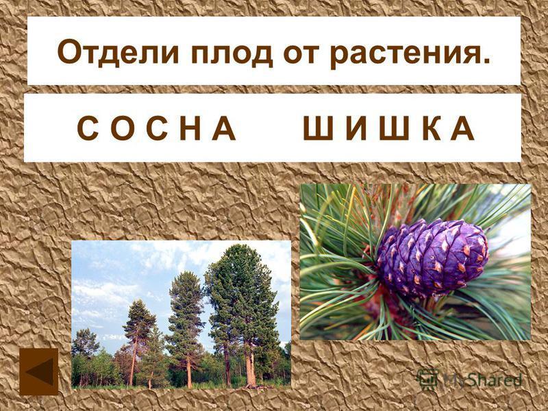 Отдели плод от растения. С О Ш И С Н Ш А К АС О С Н А Ш И Ш К А
