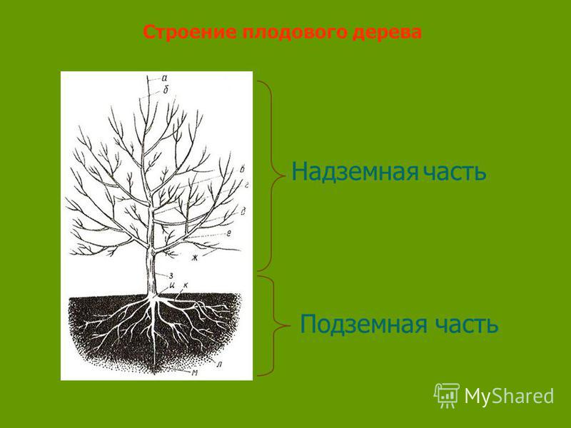 Надземная часть Подземная часть Строение плодового дерева