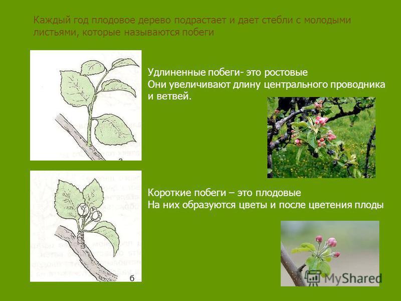 Каждый год плодовое дерево подрастает и дает стебли с молодыми листьями, которые называются побеги Удлиненные побеги- это ростовые Они увеличивают длину центрального проводника и ветвей. Короткие побеги – это плодовые На них образуются цветы и после