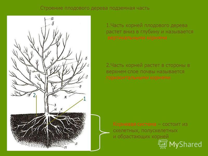 Строение плодового дерева подземная часть Корневая система – состоит из скелетных, полу скелетных и обрастающих корней 1. Часть корней плодового дерева растет вниз в глубину и называется вертикальными корнями 2. Часть корней растет в стороны в верхне