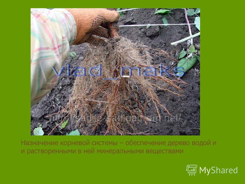 Назначение корневой системы – обеспечение дерево водой и и растворенными в ней минеральными веществами