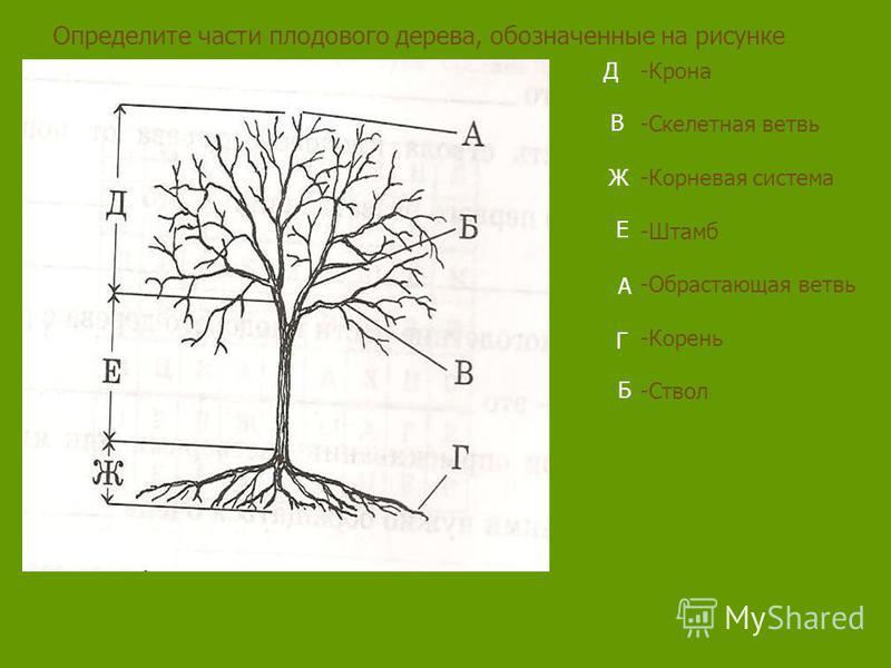 Определите части плодового дерева, обозначенные на рисунке -Крона -Скелетная ветвь -Корневая система -Штамб -Обрастающая ветвь -Корень -Ствол Д В Ж Е А Г Б