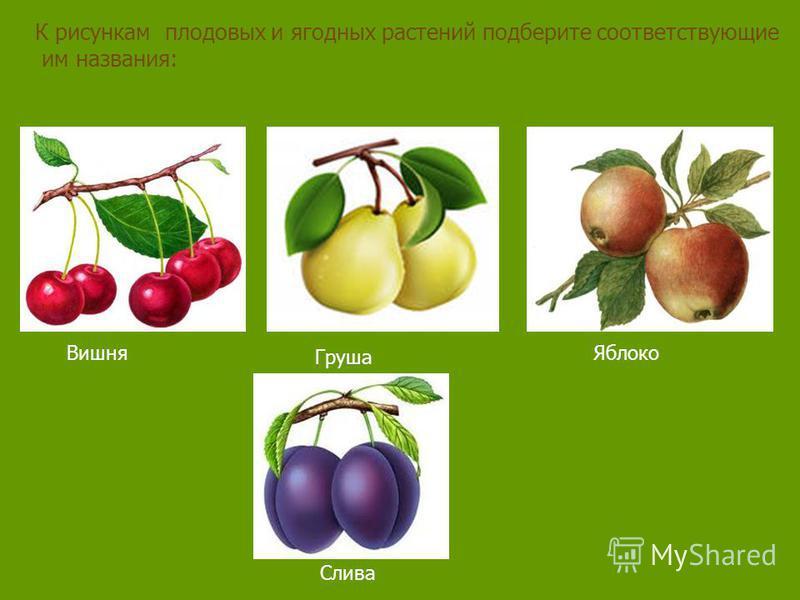 К рисункам плодовых и ягодных растений подберите соответствующие им названия: Вишня Груша Яблоко Слива