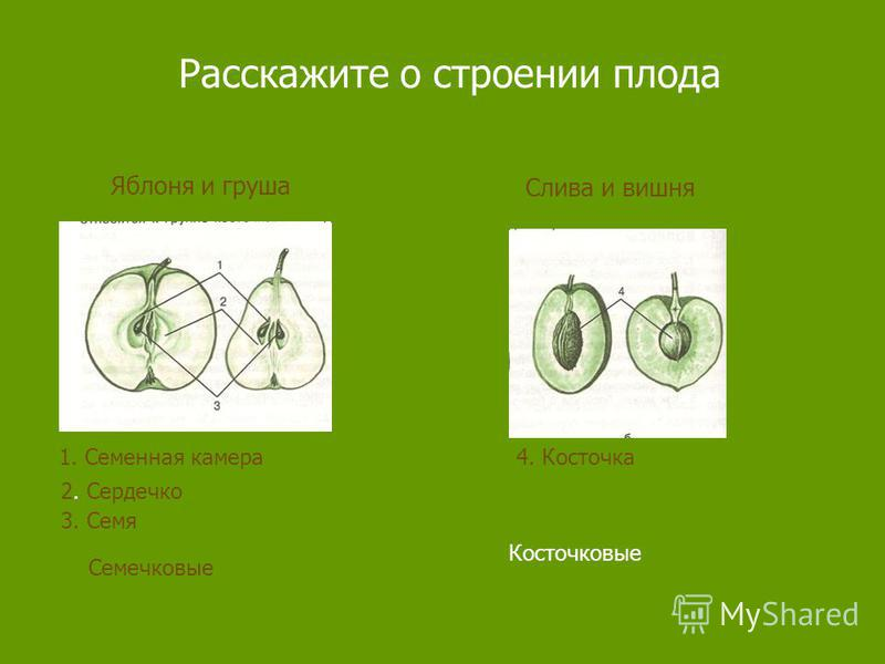 Расскажите о строении плода Яблоня и груша Слива и вишня 1. Семенная камера 2. Сердечко 3. Семя 4. Косточка Семечковые Косточковые