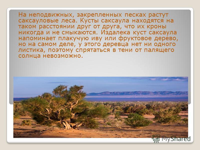 На неподвижных, закрепленных песках растут саксауловые леса. Кусты саксаула находятся на таком расстоянии друг от друга, что их кроны никогда и не смыкаются. Издалека куст саксаула напоминает плакучую иву или фруктовое дерево, но на самом деле, у это