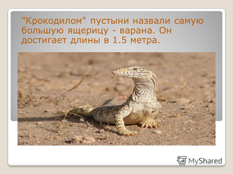 Крокодилом пустыни назвали самую большую ящерицу - варана. Он достигает длины в 1.5 метра.