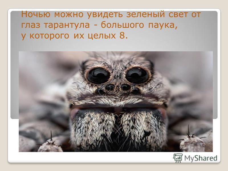 Ночью можно увидеть зеленый свет от глаз тарантула - большого паука, у которого их целых 8.