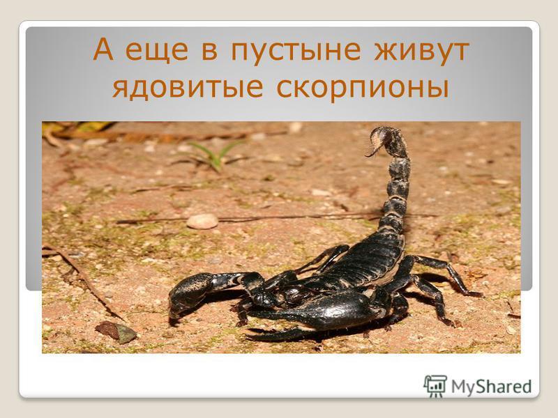 А еще в пустыне живут ядовитые скорпионы