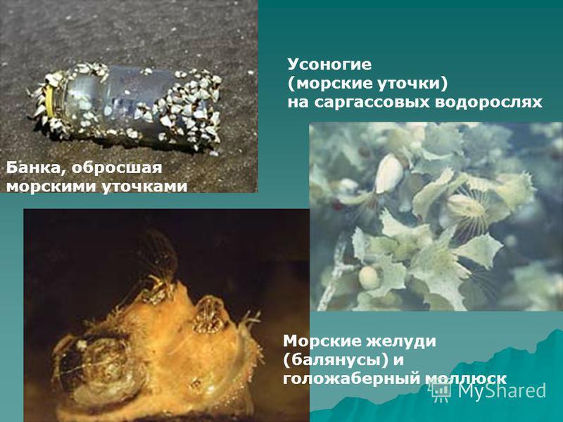 Банка, обросшая морскими уточками Усоногие (морские уточки) на саргассовых водорослях Морские желуди (балянусы) и голожаберный моллюск