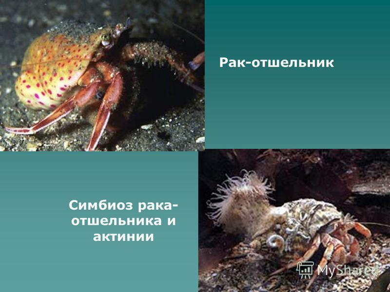 Симбиоз рака- отшельника и актинии Рак-отшельник